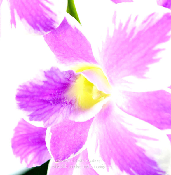 Fresh Cut Orchid Dendrobium Queensland Novelty Orchid