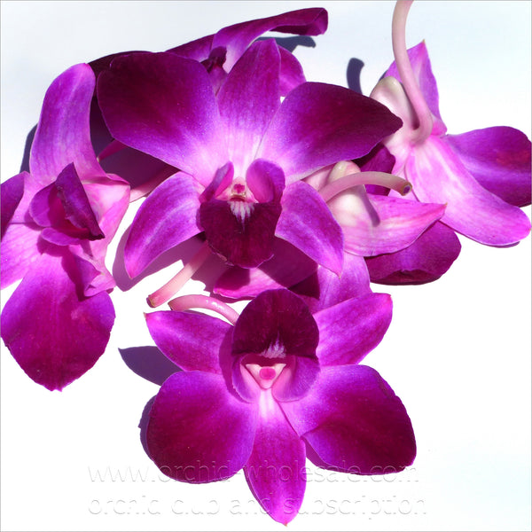Loose bloom orchid edible flowers - pink purple sonia