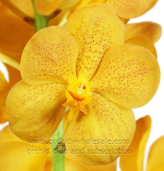 Ascocenda Orchid Gold Medal