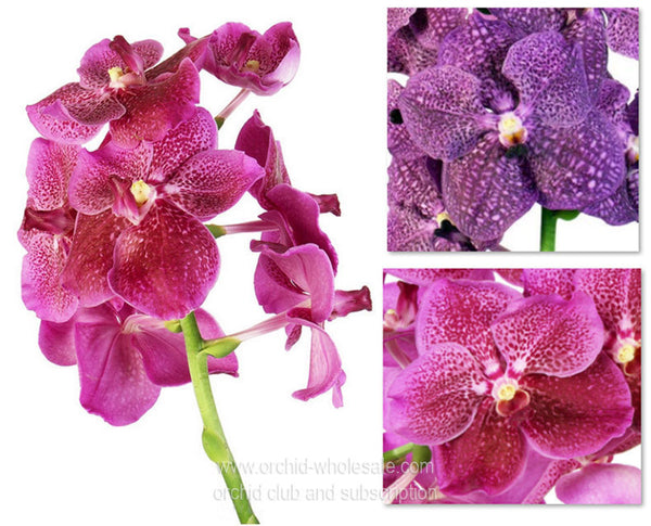 Fresh Cut VANDA ORCHID Assortment (Pink & Purple)