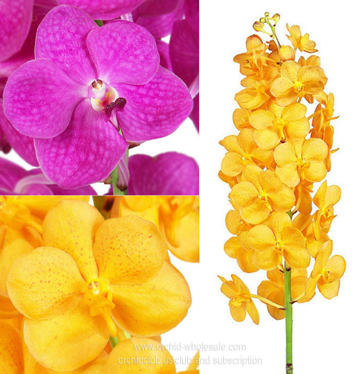 Fresh Cut Orchid wholesale flowers Ascocenda Orchid