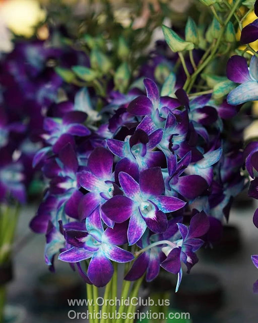 Fresh Cut Orchid Dendrobium Dyed Blue Sonia