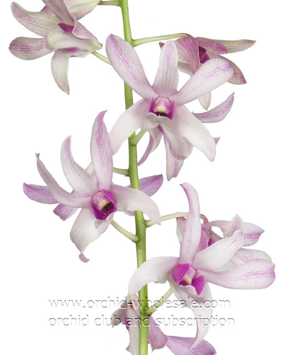 Dendrobium Orchid Channal White 2 Tone