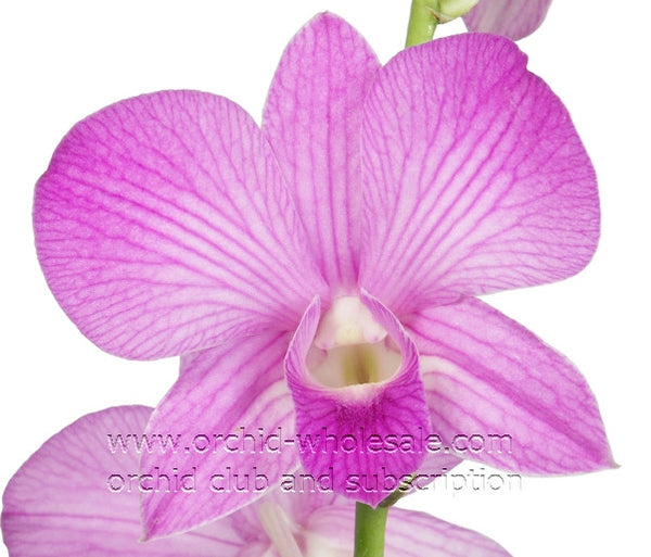 Dendrobium Orchid Lavender Candy Sweet