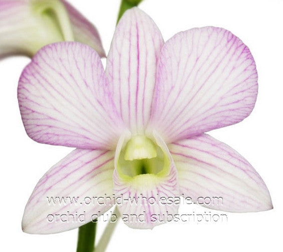 Dendrobium Orchid Lovely Sherbet White 2 Tone