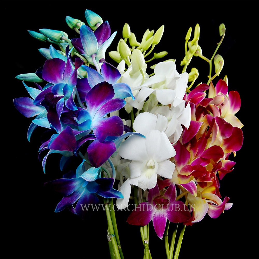 Send flower now, send orchid now,  ordering orchid, thai orcghid, tropical orchid, flower delivery New York, New Jersey, Pennsylvania, Delaware, Massachusetts, Maryland, Rhode Island, Connecticut, Washington DC