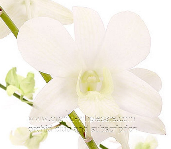 Dendrobium White Orchid Jacquelyn White5N