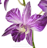 Fresh Cut Orchid Dendrobium Mozart or Mozard Novelty Orchid