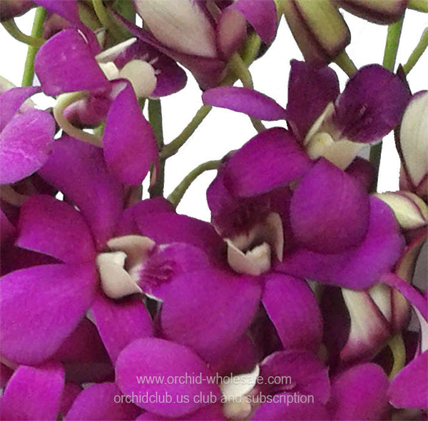 Dendrobium Orchid Rasberry