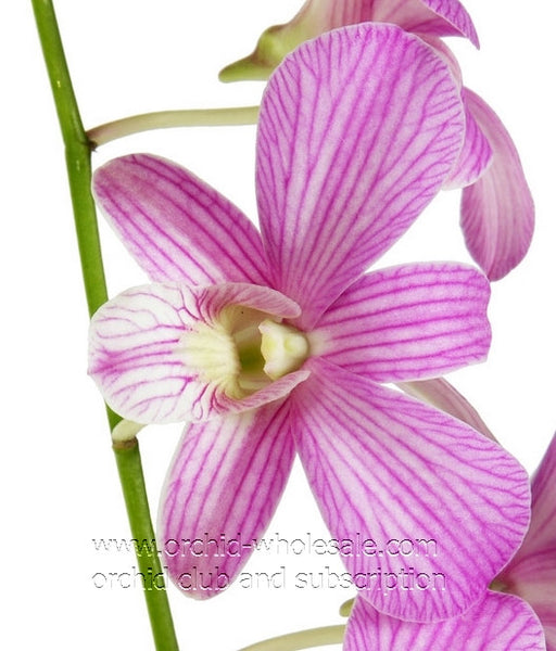 Dendrobium Orchid Candy Twist Lavender Two Tone