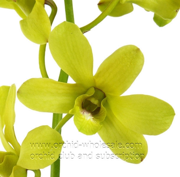 Dendrobium Orchid Fatima Yellow hint Green