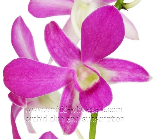 Dendrobium Orchid Lavender Intuwong