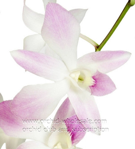 Dendrobium Orchid Miss Teen White 2 Tone