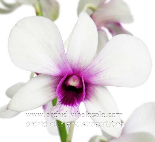 Dendrobium Orchid Morning Blossom White 2 Tone