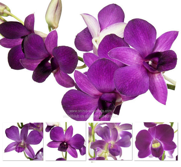 1) Fresh Cut Orchid Assortment Dendrobium ( Purple Violet Lavender Pack )