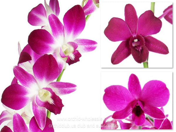 Assortment Dendrobium Orchid Tropical Purple Pack