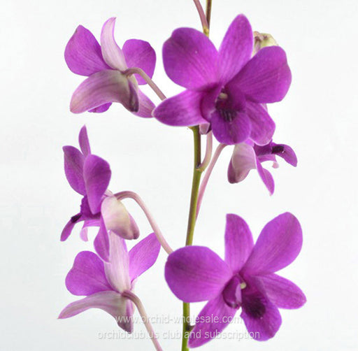 Fresh Cut Orchid Dendrobium Forever