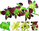 Fresh Cut Orchid Assortment Dendrobium ( Green Pack )