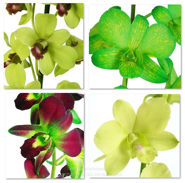Assortment Dendrobium Orchid Green Pack