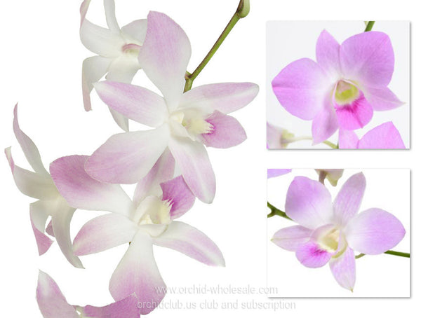 1) Fresh Cut orchid Assortment Dendrobium ( Light Pink Sweet Pack )