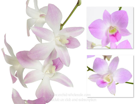 Assortment Dendrobium Orchid Light Pink Sweet Pack