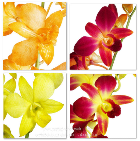 1) Fresh Cut Orchid Assortment Dendrobium Dyed ( Orange Kiss Yellow Sunshine Pack )