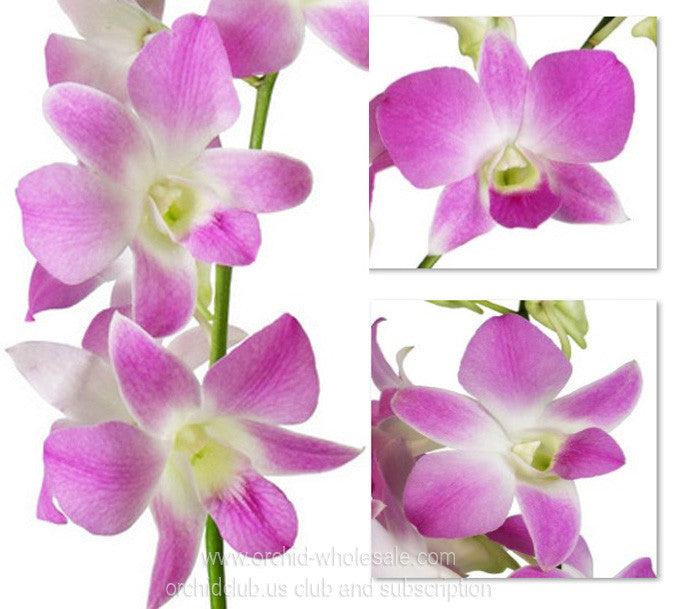 1) Fresh Cut Orchid Assortment Dendrobium ( Pretty in Pink Pack )
