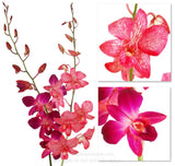 Fresh Cut Orchid Assortment Dendrobium Dyed ( RED HOT Pack )