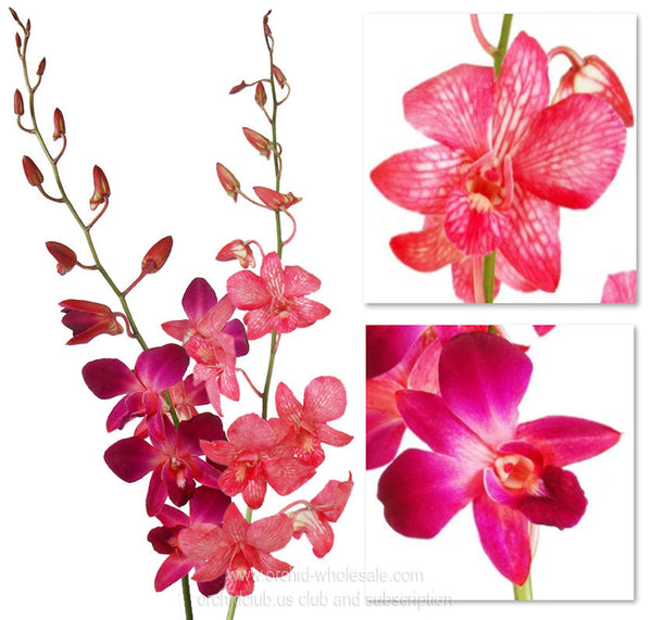 1) Fresh Cut Orchid Assortment Dendrobium Dyed ( RED HOT Pack )