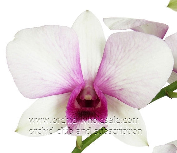 Dendrobium Orchid Pink Sunshine