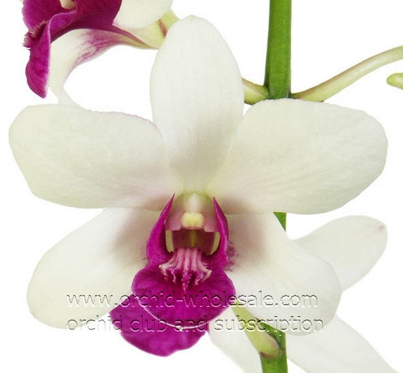 Dendrobium Orchid Princess Crown