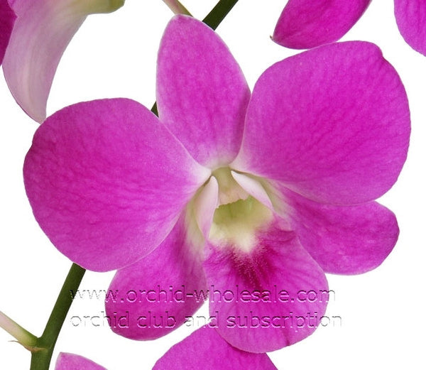 Dendrobium Orchid Queen Pink