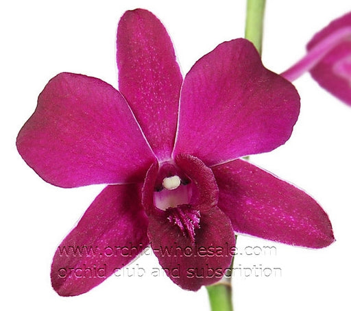 Dendrobium Orchid Siam Ruby Purple ( Red Bull )