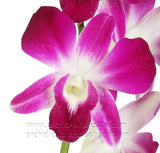 Fresh Cut Orchid Assortment Dendrobium ( Tropical Purple Pack )
