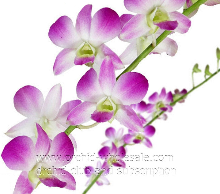 Dendrobium Orchid Sugar Sweet