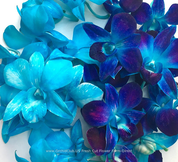 Assortment Loose bloom orchid flowers - DUO true blue
