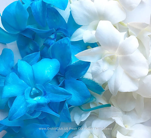 Assortment Loose bloom orchid flowers - DUO white blue
