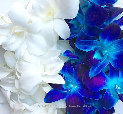 Assortment Loose bloom orchid flowers - DUO white navy blue