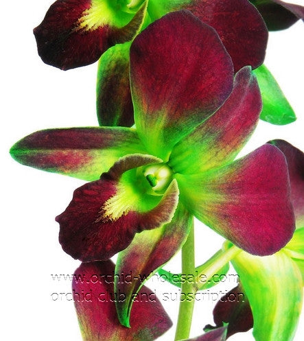 Dendrobium Orchid Dyed Green Sonia