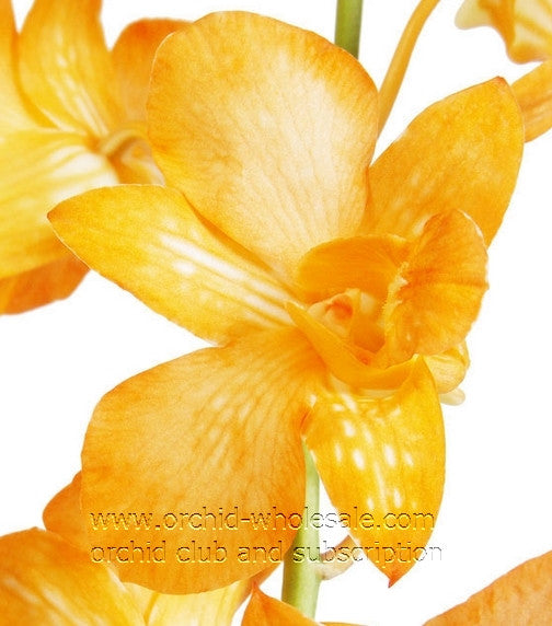 Dendrobium Orchid Dyed Orange Big White Form