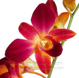 Assortment Dendrobium Orchid Dyed Orange Kiss Yellow Sunshine Pack