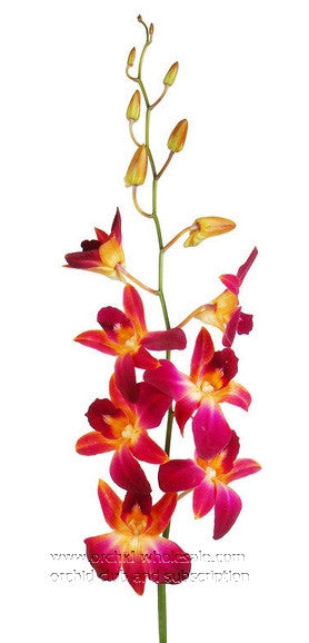 Dendrobium Orchid Dyed Orange Sonia