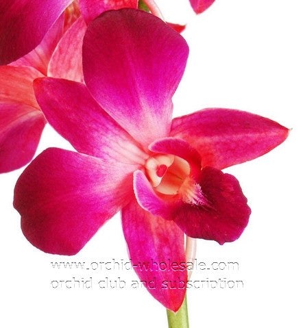 Dendrobium Orchid Dyed Red Sonia