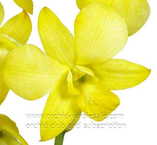 Dendrobium Orchid Dyed Yellow