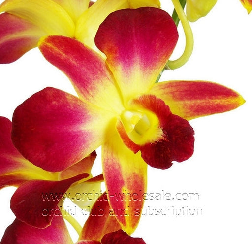 Dendrobium Orchid Dyed Yellow Sonia