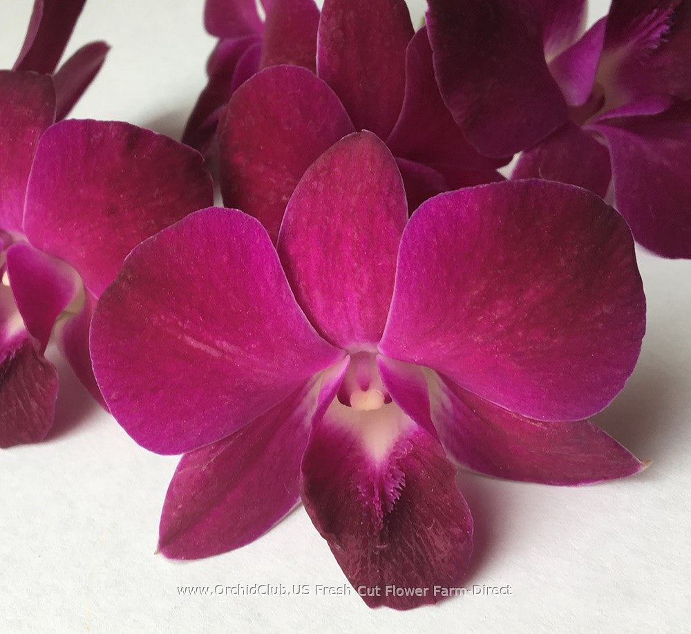 Loose bloom orchid flowers - Burgundy Red
