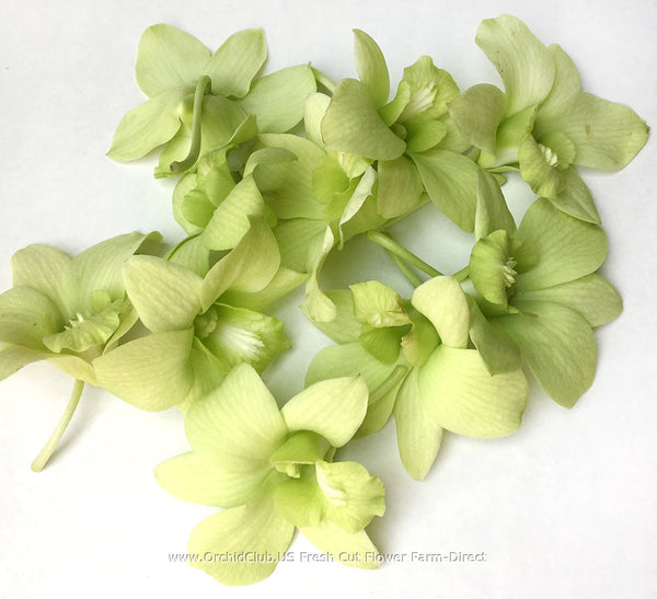 Loose bloom orchid flowers - light green