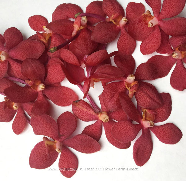 Loose bloom orchid flowers - mokara red