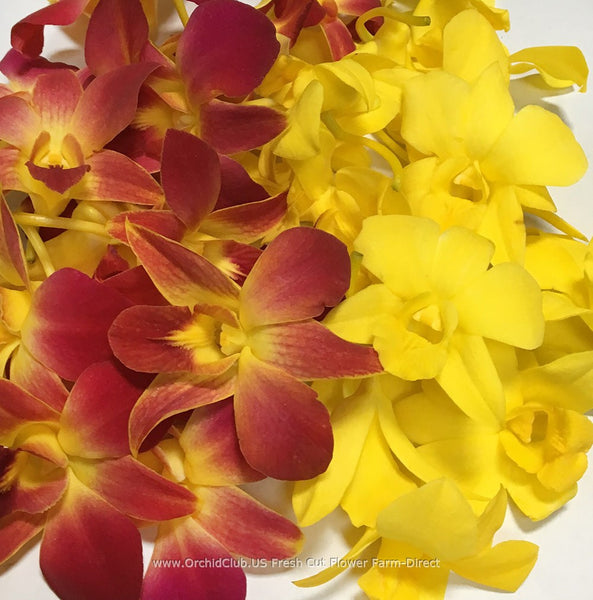 Assortment Loose bloom orchid flowers - DUO yellow red