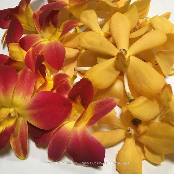 Assortment Loose bloom orchid flowers - DUO yellow mokara yellow sonia